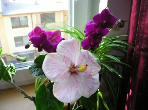 zimbelly a orchid